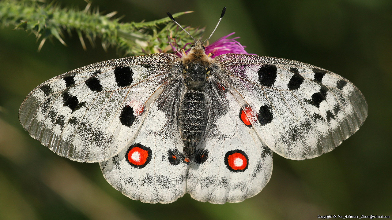 search for the critically endangered apollo butterfly at